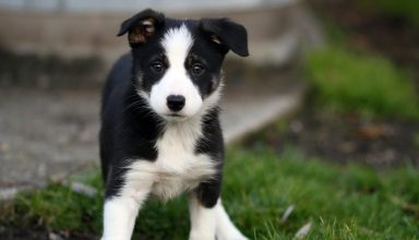 border collie puppy training