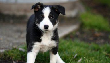 border collie puppy training