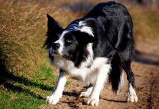 border collie aggression