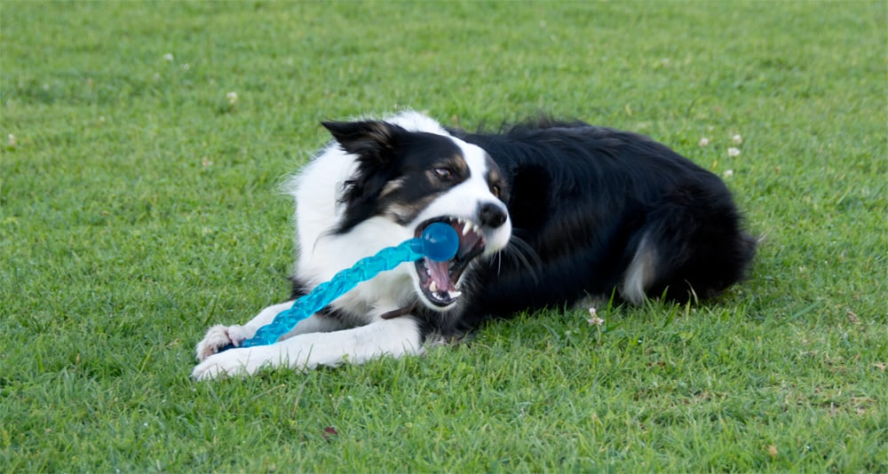 border collie destructive chewing