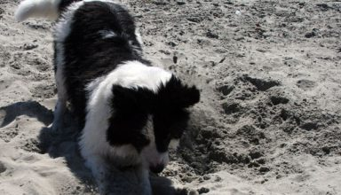 border collie digging