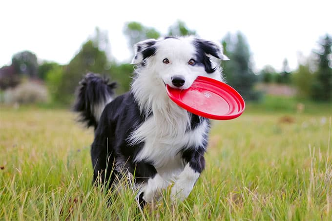 Border Collie Breed 1
