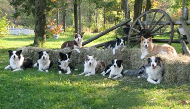 border collie dominance problems