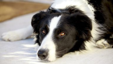 border collie separation anxiety