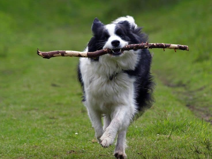 border collie training mistakes