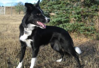 border collie urinary problems