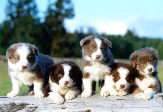 border collie breeder