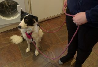 border collie leash training