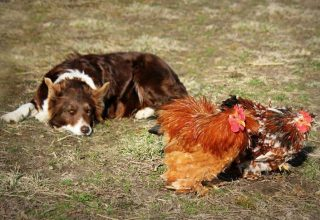 border collie chicken guard dog